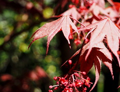 Red leaves and bokeh shadows (pilechko) Tags: red color leaves japanese maple bokeh lambertville