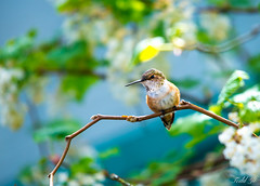 Nice view here  (T.ye) Tags: lighting flowers trees canada bird animal outside branch hummingbird outdoor wildlife allens todd  ye