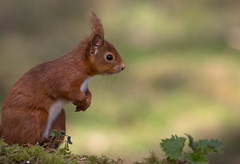 Red Squirrel (forbesimages) Tags: red canon squirrel fife wildlife scottish