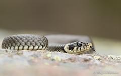 _M8A1268 (Montivipera) Tags: male adult snake grasssnake colubridae fieldherping oskarshamn natrixnatrix natricinae kalmarln vnevik oskarshamnkommun