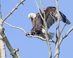Touch Down (zarb67) Tags: canon eagle baldeagle springfield birdsofprey americanbaldeagle pinelake birdinflight northeastohio 1dx pinelakeeagles firestonefarms 600mmf4lisii14xiii