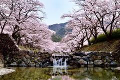 (Clonedbird  & Iris ) Tags: reflection japan river spring nikon kyoto   sakura    2016      d810