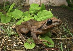 White jawed frog- Invasive species (Okinawa Nature Photography) Tags: frogs amphibians yanbaru ogimi canonoutdoors okinawanaturephotography frogsofokinawa shawnmmillerphotography wildlifeofokinawa invasivespeciesinokinawa