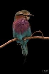 Lilac-breasted Roller (Leon Buijs) Tags: africa bird animals zoo dieren beeksebergen dierentuin lilacbreastedroller safariparkbeeksebergen