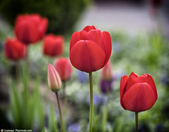 Red Tulips 2 (mjardeen) Tags: flowers color closeup garden washington spring king dof tulips bokeh 85mm 9 depthoffield wa f2 tacoma jupiter a7ii nikcolorefex a7m2 ilce7m2
