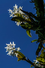 Dendrobium moorei orchid on Mt Gower (NettyA) Tags: flowers plants white orchid flora australia hike orchidaceae nsw summit dendrobium day6 bushwalk unescoworldheritage lordhoweisland 2016 lhi moorei arfp mtgower dendrobiummoorei lhrfp thelychitonmoorei arfepiphyte arflithophyte arfflowers whitearfflowers subtropicalarf janetteasche lordhoweforclimate mtgowerclimb