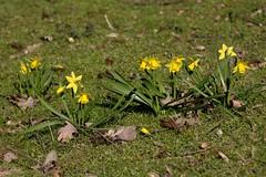 More daffodils... (dididumm) Tags: flower green yellow spring meadow wiese gelb daffodil grn blume frhling osterglocke narcissuspseudonarcissus gelbenarzisse