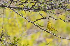 yellow warbler (dendroica petechia) (caropho) Tags: curaao