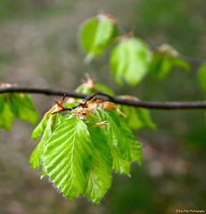 frhlingsfrisch (mayflower31) Tags: leaves spring bltter frhling buche