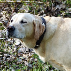 Konzentration (glaserei) Tags: labrador retriever hund goldie haustier hunde iva labi
