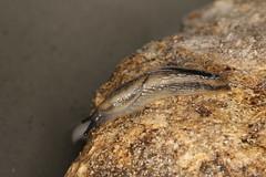 Arion distinctus (dhobern) Tags: denmark europe may mollusca gastropoda arion 2016 sborg arionidae distinctus