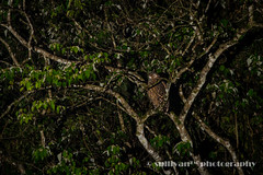 IMG_3751 (sullivan) Tags: nature animal dof bokeh taiwan sullivan            ef300mmf4lisusm   canoneos7d tawnyfishowl  ketupaflavipes      newtaipeicity     adobephotoshoplightroom5 suhaocheng