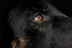 Meggy (Elke Molenaar) Tags: dog brown black eye gold grey german sheperd