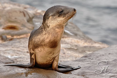 FM2A0945-15 (StacyN - MichiganMoments) Tags: california beach lajolla seal sealion stacyniedzwiecki