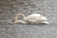 Shag! (Common Buzzard) Tags: park sex swans intercourse waterfowl essex colchester muteswan