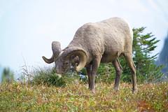 Bighorn sheep ram (naturenps) Tags: bighornsheep nps nationalparkservice alpine mountains nature wildlife nationalparks