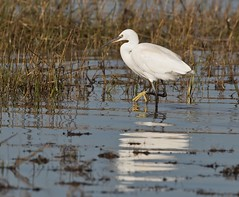 Little egret - (Egretta garzetta) (Carl Haslam) Tags: elements