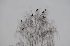 DSC_6138 Ravens on an iced willow. Raben auf Weide, Rmerberg, 13.1.2013 (andreas.marquardt73) Tags: schnee snow ice frozen weide magic willow wonderland raven baden eis rmerberg raben badenbeiwien gefroren trauerweide badennearvienna sooserlindkogel