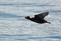 Flying scoter (Adam Wang) Tags: sea bird flying duck surfscoter