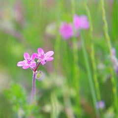 FLOWER MACRO (vaskos66) Tags: macro art nature colors beautiful flora colours pentax bokeh sigma makro geraniumrobertianum herbrobert