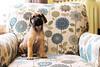 Meet Winston... (Sandra H-K) Tags: portrait dog pet cute animal puppy day dof englishmastiff adorable indoor depthoffield february dogportrait 35mm14 canon70d