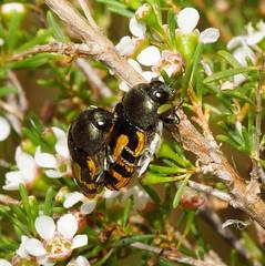 Mating Jewel Beetles,Buprestidae. (ron_n_beths pics) Tags: westernaustralia buprestidae jewelbeetles perthurbanbushland