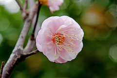Japanese Apricot (Plum Blossom) :  (Dakiny) Tags: pink winter flower tree nature japan nikon yokohama february kanagawa 2016 nikonclubit