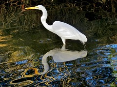 Winter Egret (moonjazz) Tags: california wild reflection nature water wildlife wetlands winged habitat egret stork creel bired