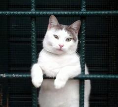 Bad kitten (robgarbage) Tags: cats white cat countryside kitten pussy kittens campagna jail felino felini puss gatto bianco gatti arrested musci prigione arrestato
