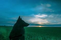 Nut (abel.maestro) Tags: espaa dog andalucia belga perro amanecer cielo nubes nut maestro abel pastor toma rocio trigo roco