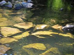 Enz bei Neuenbrg (thobern1) Tags: river germany fluss schwarzwald blackforest badenwrttemberg enz neuenbrg enzkreis