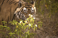 The King of Sariska - 2 (The Stinky Flower) (NavNirvana) Tags: trip travel wild sun sunlight india flower love animal cat photography king tour outdoor weekend stripes wildlife tiger stripe royal reserve bengal rajasthan sariska stinks tigerreserve wildlifephotography royalbengaltiger astroport thekingofsariska