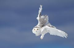 Flight of the Snowy Owl (Explored) (Jim Cumming) Tags: blue winter sky white snow canada cold nature wildlife owl predator snowyowl