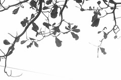 black and white (molly31203) Tags: bw white black leaves canon leaf canon700d