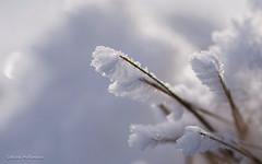 Cotton candy (is.hollmann) Tags: schnee winter snow gras nahaufnahme eiskristalle