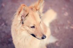 my little fox (mimusha) Tags: rescue dog pet animal foxy mutt nikon colours canine