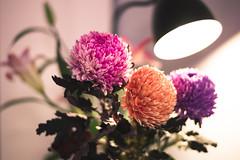 (ian.latte) Tags: leica pink orange flower 50mm purple blossom indoor newyear cny  household lunar  leicam