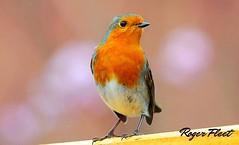 DSC_5751 (rogerfleet) Tags: red robin