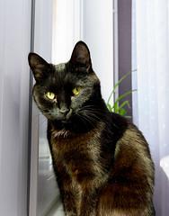 IMG_8614 (Alexis2k) Tags: black cat кошка черный чёрная черная чёрный