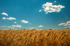 Amber Waves of Grain (www.toddklassy.com) Tags: blue autumn summer sky food sunlight west color fall nature field grass barley yellow horizontal clouds rural bread landscape gold golden amber countryside healthy stem montana day mt berries natural bright outdoor farm background wheat horizon country farming seasonal grain cereal harvest grow seed straw dry sunny nobody nopeople scene farmland growth crop heads western land copyspace agriculture heavy arid wholesome agricultural ripe highwood ripen bentover chouteaucounty