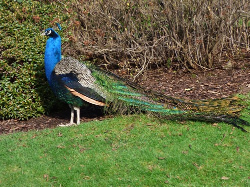 Scone Palace Peacocks 140216a