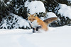 Red fox (Phiddy1) Tags: wild snow ontario canada cold wildlife fox algonquin redfox 29cbrrrr