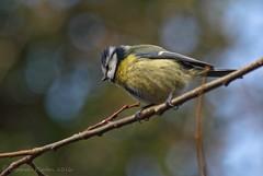 Blue tit (riggy-riggo) Tags: bird nature woodland kent spring wildlife bluetit canon70300mm canon5dmarkll deborahrigden riggyriggo debbierigden