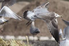 Caspian gull / Larus cachinnans / Pontische meeuw 3cy (Herman Bouman) Tags: caspiangull laruscachinnans pontischemeeuw