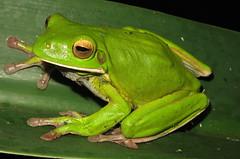 White-lipped Tree Frog (Litoria infrafrenata) (Heleioporus) Tags: park tree frog national queensland daintree litoria infrafrenata whitelipped