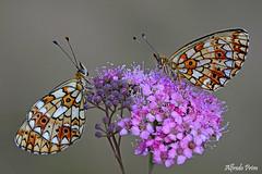 Boloria selene (Explore) (alfvet) Tags: macro nature nikon butterflies natura insetti farfalle veterinarifotografi naturebynikon