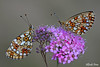 Boloria selene (Explore) (alfvet) Tags: macro nature nikon ngc butterflies natura npc insetti farfalle veterinarifotografi naturebynikon