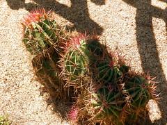Ferocactus pilosus (amantedar) Tags: cactus spain catalonia ferocactus cactusgarden ferocactuspilosus caproig jardinsdecaproig stainesii ferocactusstainesii