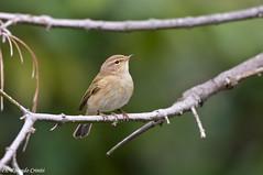 Lu piccolo _006 (Rolando CRINITI) Tags: bird natura uccelli uccello arenzano ornitologia lupiccolo