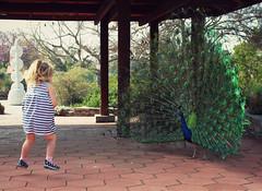 jump (cookiepuss76) Tags: kid jump child action peacock excited peacocktail peacockdisplay arcadiaarboretum decorativebird peacockandchild peacocktaildisplay